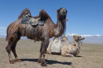 Bactrian camel saddled for riding
