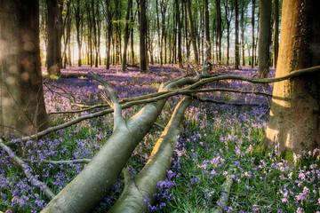 Fallen tree in bluebell wood