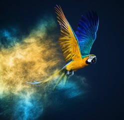 Fototapete - Flying Ara parrot over colourful powder explosion