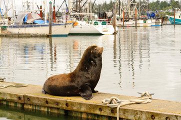 California Sea Lion, Zalophus californianus, on the water front