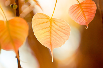 heart shaped leaf with warm sunlight