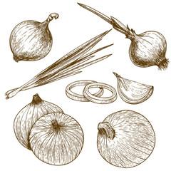 Fototapeta engraving illustration of onion obraz