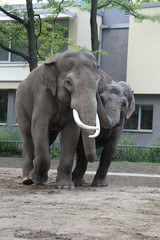 Elephants in love in Berlin Zoo