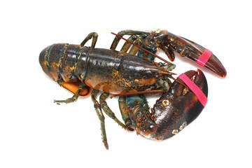 Caught lobster