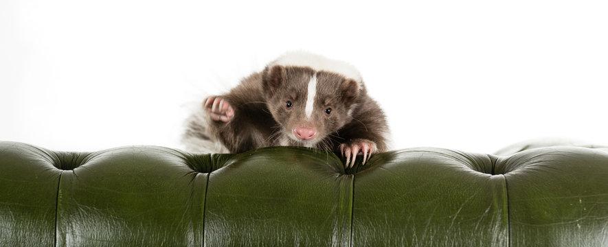 Skunk peeking over a chair