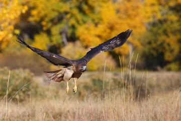 Fototapete - Red-tailed hawk in flight