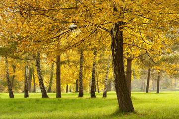 Fall colored birch