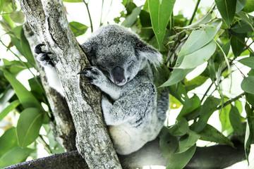 Cute Koala on the tree