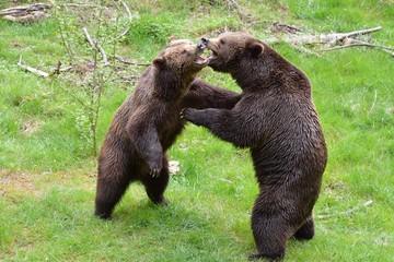 Kämpfende Braunbären (ursus arctos)