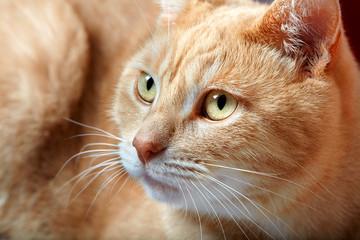 Ginger domestic cat