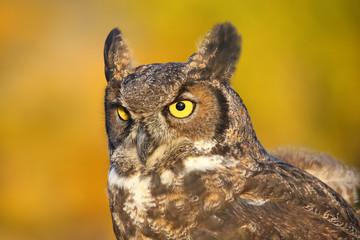 Fotobehang - Portrait of Great horned owl