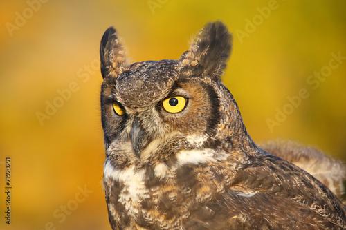 Fototapete Portrait of Great horned owl