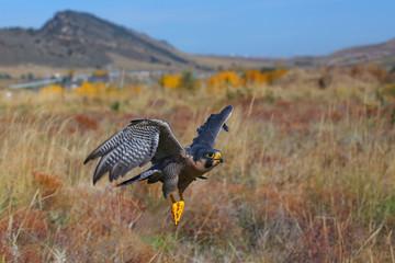 Fototapete - Peregrine falcon flying in a field