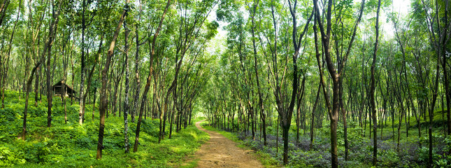 Enchanting Forest Lane in a Rubber Tree Plantation