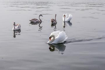 Famille de cygnes au grand large