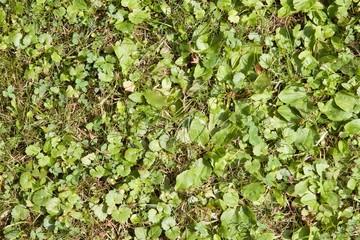 Nahaufnahme einer grünen Wildwiese mit diversen Pflanzen
