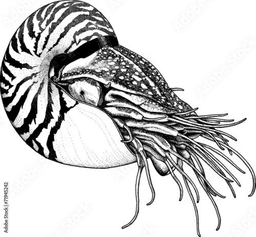 quotvintage illustration sealife nautilusquot stock photo and