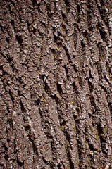 Deciduous tree bark.