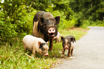 cute pig with piglets on countryside road