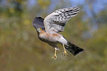 Fotoväggar - Sparrowhawk, Accipiter nisus