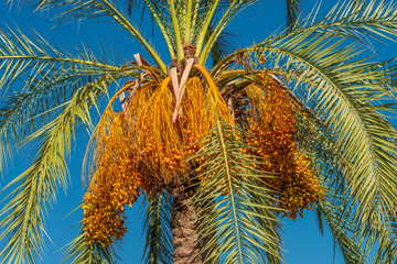 Date palm tree in front of blue sky