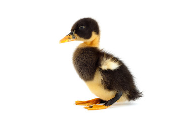 The black small duckling