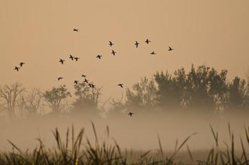 Fototapete - Early Morning Flight of Ducks Above Foggy Marsh