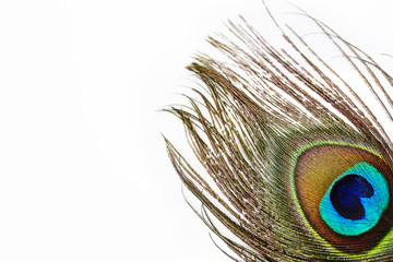 Vibrant peacock feather against white background