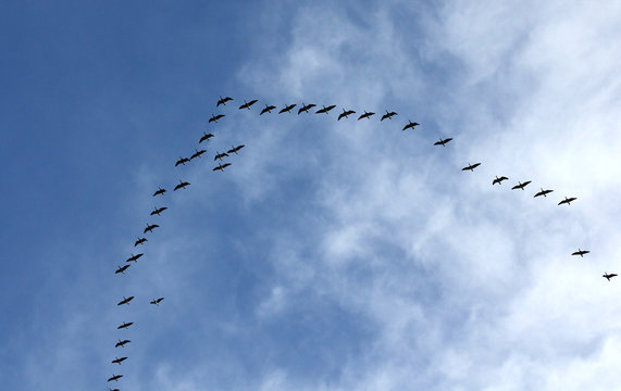 Silhouettes of flying geese in V formation.