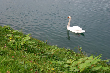 Japanese knotweed spreads at lake Bled