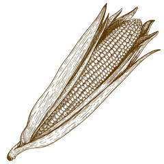 Engraving  woodcut illustration of corn on white background