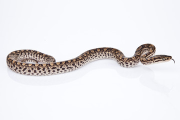 Brazilian Rainbow Boa on white background.
