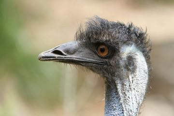 Poster Ostrich Portret van een struisvogel.