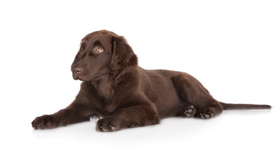 chocolate brown flat coated retriever