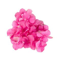 pink hydrangea flowers isolated on white