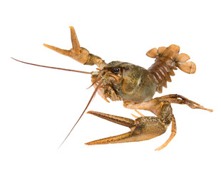 Crawfish in fighting pose