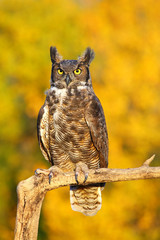 Wall Mural - Great horned owl sitting on a stick