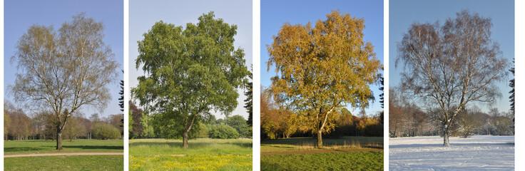 Jahreszeiten einer Birke