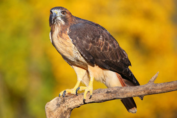 Fototapete - Red-tailed hawk sitting on a stick