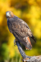 Wall Mural - Red-tailed hawk sitting on a stick