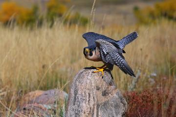 Fototapete - Peregrine falcon sitting on a rock