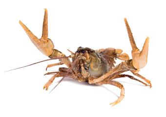 Crawfish in fighting pose