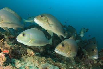 Sweetlips fish school