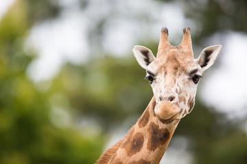Autocollant pour porte Girafe Giraffe (Giraffa camelopardalis)