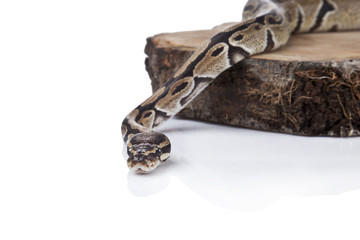 Python on the wood isolated white background
