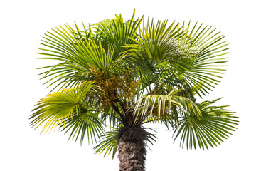 isolated palm tree top part