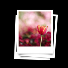 Photo frame of red tulip isolated on black background