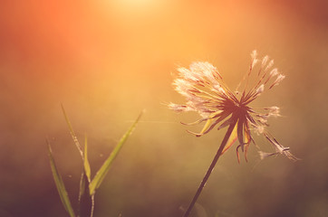 Closeup photo of dandelion at sunrise