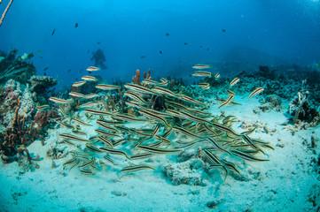 Schooling blennies in Gili Lombok Nusa Tenggara Barat underwater