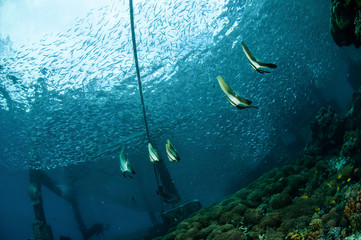 longfin Batfish swim, Gili Lombok Nusa Tenggara Barat underwater